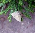 Straw Dot. Rivula sericealis - Flickr - gailhampshire (1).jpg