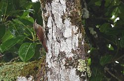 Streak-headed Woodcreeper (25095888995).jpg