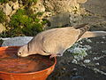 Streptopelia decaocto -drinking-8.jpg