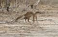 Striped ground squirrel.jpg