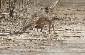 Xerus erythropus - Image: Striped ground squirrel