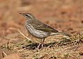 Striped pipit, Anthus lineiventris, at Walter Sisulu National Botanical Garden, Gauteng, South Africa (28853808164).jpg