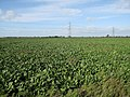 Sugar beet - geograph.org.uk - 1558835.jpg
