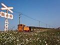 Sugar cane train passes through shepherd's needle flowers fields in Huwei.jpg