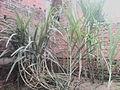 Sugarcane plant.jpg