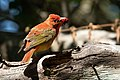 Summer Tanager (1st year male) Sabine Woods High Island TX 2018-04-26 09-54-19 (27221356207).jpg