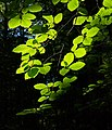 Sunlight on beech leaves in Gullmarsskogen ravine 4.jpg