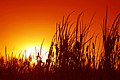 Sunset through Bulrushes.jpg