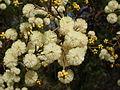 Sunshine wattle blossom (3375465334).jpg