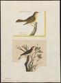 Sylvia trochilus - 1700-1880 - Print - Iconographia Zoologica - Special Collections University of Amsterdam - UBA01 IZ16200183.tif