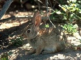 http://upload.wikimedia.org/wikipedia/commons/thumb/6/6c/Sylvilagus_audubonii.jpg/275px-Sylvilagus_audubonii.jpg