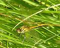 Sympetrum-danae-female-odo.jpg