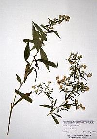 Symphyotrichum lanceolatum var. lanceolatum BW-1979-0914-9917.jpg