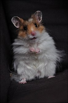 "Long-haired or ""Angora"" hamsters [ edit ]"
