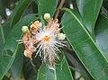 Syzygium hemisphericum 04.jpg