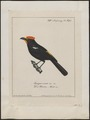Tachyphonus cristatus - 1700-1880 - Print - Iconographia Zoologica - Special Collections University of Amsterdam - UBA01 IZ15900339.tif