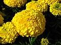 Tagetes erecta (cultivar) 01.JPG