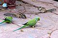 Taj Parakeets (2290350079).jpg