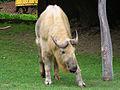 Takin (Budorcas taxicolor)- Miejski Ogród Zoologiczny w Warszawie.JPG