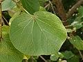 Talipariti tiliaceum (leaf).jpg