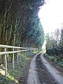 Tall cypress hedge on Pested Road - geograph.org.uk - 402632.jpg