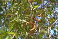 Tamarindus indica04a.jpg