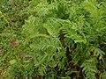 Tanacetum vulgare 108630026.jpg