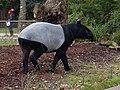 Tapirus indicus1.jpg