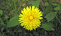 Taraxacum officinale (common dandelion) (Newark, Ohio, USA) 2 (17336937302).jpg