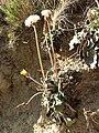 Taraxacum serotinum sl85.jpg