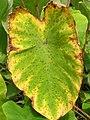 Taro Cladosporium leaf spot (12227195866).jpg