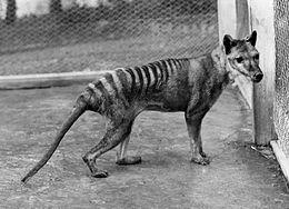 Tasmanian Tiger Wiki