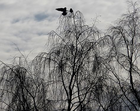 Tauben im Baum 0001 01.jpg