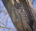 Tawny owl (51161205713).jpg