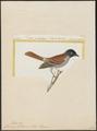Tchitrea bourbonnensis - 1700-1880 - Print - Iconographia Zoologica - Special Collections University of Amsterdam - UBA01 IZ16500403.tif