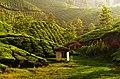 Tea estate in Munnar.jpg