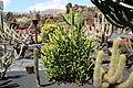 Teguise Guatiza - Jardin - Euphorbia mayuranathanii 03 ies.jpg