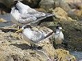 Terns at Woodman Spit, April 2021 05.jpg