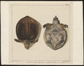 Testudo cartilaginea - 1700-1880 - Print - Iconographia Zoologica - Special Collections University of Amsterdam - UBA01 IZ11600173.tif