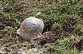 Testudo graeca - Mediterranean Spur-thighed Tortoise 01-2.jpg