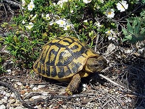 Hermann's tortoise - Testudo hermanni hermanni on Majorca