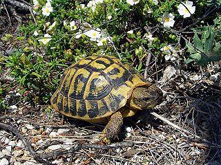 Hermanns tortoise species of reptile