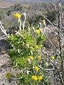 Tetradymia spinosa-5-07-04.jpg