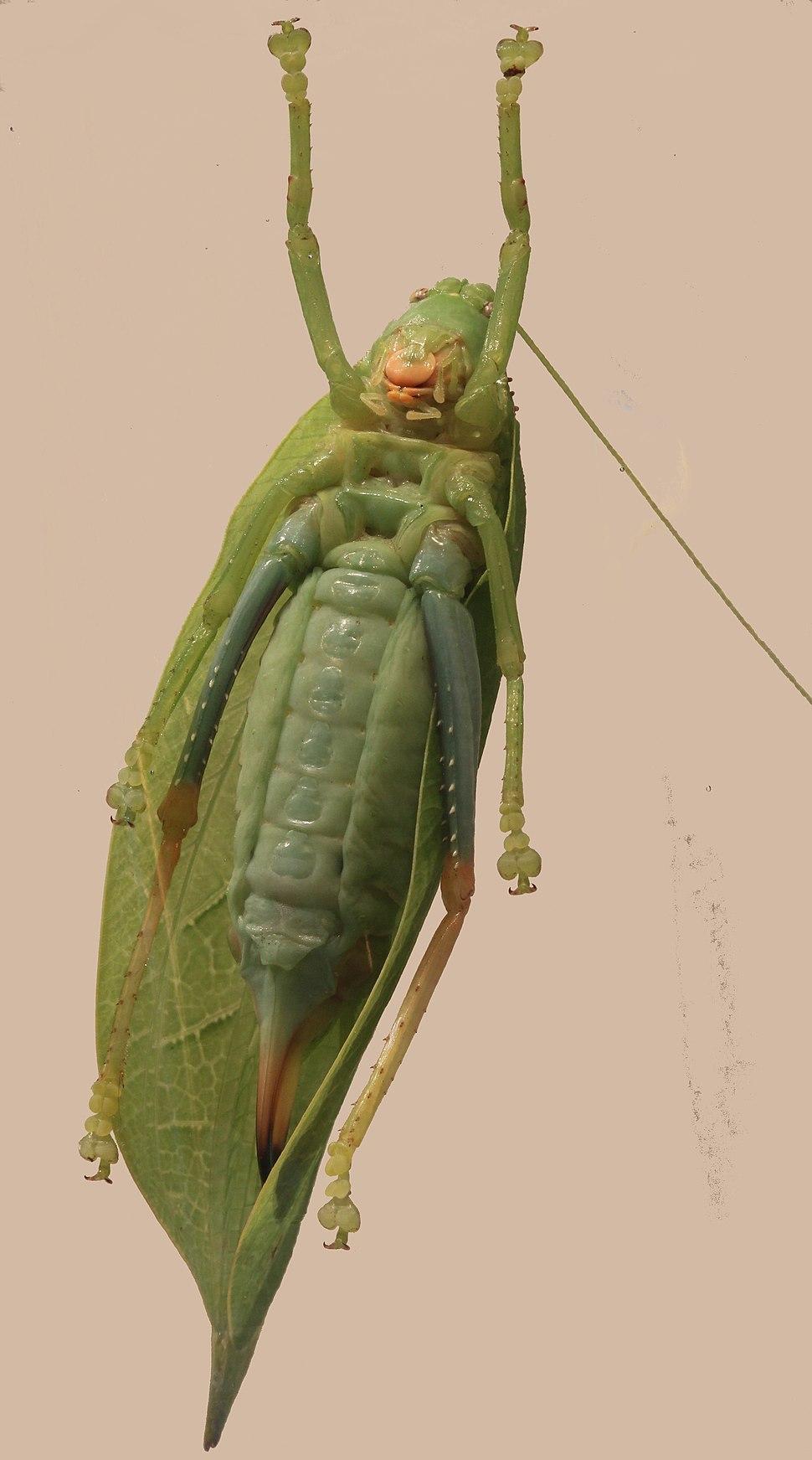 Tettigoniidae Zabalius aridus True Leaf Katydid 2012 06 04 6713