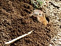 Texas Canyon - Botta's Pocket Gopher 3.jpg
