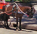 Thai pony.jpg