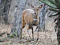 The Bushbuck who dropped by for dinner (several of his friends also came, but after dark). (44701523922).jpg