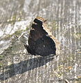 The Mourning Cloak (23001182629).jpg