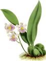 The Orchid Album-01-0122-0040-Odontoglossum kramerii-crop.png