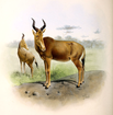 The book of antelopes (1894) Bubalis busephalus.png